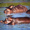 Hippopotamus In River. Serengeti. Tanzania by Michal Bednarek