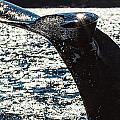 Humpback Whale Lobtailing by Perla Copernik