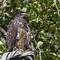 Juvenile Bald Eagle by Doug Lloyd