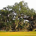 Louisiana Live Oak Tree by Ronald Olivier