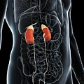 Male Urinary System by Sciepro/science Photo Library