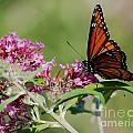 Monarch Butterfly by Mark Dodd