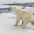 Polar Bear Crossing Ice Floe by John Shaw