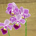 Purple Orchid by Rudy Umans