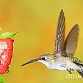 Ruby Throated Hummingbird Female by Millard H. Sharp