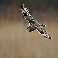 Short Eared Owl  by Paul Scoullar