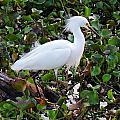 Snowy Egret by Lindy Pollard
