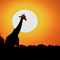 Southern Giraffe Giraffa Camelopardalis by Panoramic Images