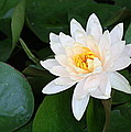 White Water Lily by Irina Davis