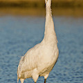 Whooping Crane (grus Americana by Larry Ditto