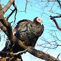 Wild Turkey by Thea Wolff