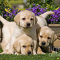 Yellow Labrador Puppies by Jean-Michel Labat