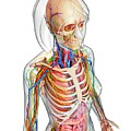 Female Anatomy by Pixologicstudio/science Photo Library
