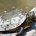 75 Year Old Turtle Moving On by John Telfer