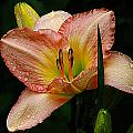 7839  Daylily by J D  Whaley