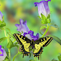 Anise Swallowtail Butterfly, Papilio by Darrell Gulin