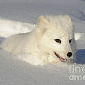Arctic Fox by John Shaw