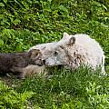 Arctic Wolf Pup by Wolves Only