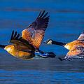 Canada Geese by Brian Stevens