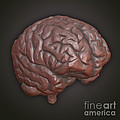 Clay Model Of Brain by Science Picture Co