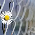 Daisy Flower by Mats Silvan