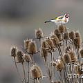 European Goldfinch by Jivko Nakev
