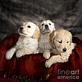Festive Puppies by Angel  Tarantella