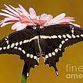 Giant Swallowtail Butterfly by Millard H. Sharp