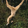 Gibbon A Mains Blanches Hylobates Lar by Gerard Lacz