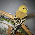 Golden Finch by LeeAnn McLaneGoetz McLaneGoetzStudioLLCcom