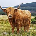 Highland Cow by Keith Thorburn LRPS AFIAP CPAGB