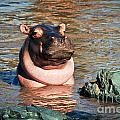 Hippopotamus In River. Serengeti. Tanzania by Michal Bednarek