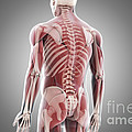 Human Muscles by Science Picture Co