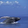 Humpback Whale Breaching Maui Hawaii by Flip Nicklin