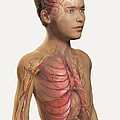 Internal Anatomy Pre-adolescent by Science Picture Co