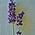 Lavender On Linen by Nina Ficur Feenan