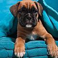 little Boxer dog puppy by Doreen Zorn