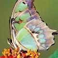 Malachite Butterfly by Millard H Sharp