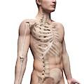 Male Skeletal System by Sebastian Kaulitzki