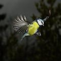 Mesange Bleue Parus Caeruleus by Gerard Lacz