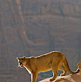 Mountain Lions In The Western Mountains by Dennis Fast