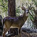8 Point Buck In My Backyard by Dale Powell