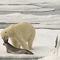 Polar Bear With Fresh Kill by John Shaw