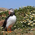 Puffin by Traci Law