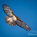 Red-tailed Hawk by Ronald Grogan
