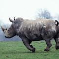 Rhinoceros Blanc Ceratotherium Simum by Gerard Lacz