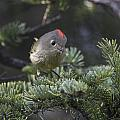 Rubycrowned Kinglet by Doug Lloyd