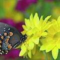 Spicebush Swallowtail, Papilio Troilus by Darrell Gulin