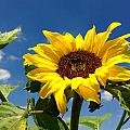 Sunflower by Les Cunliffe