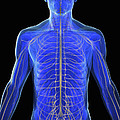The Nervous System by Science Picture Co